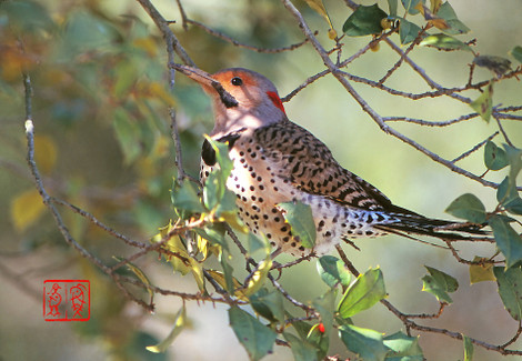 Northernflicker01
