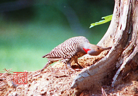 Northernflicker02