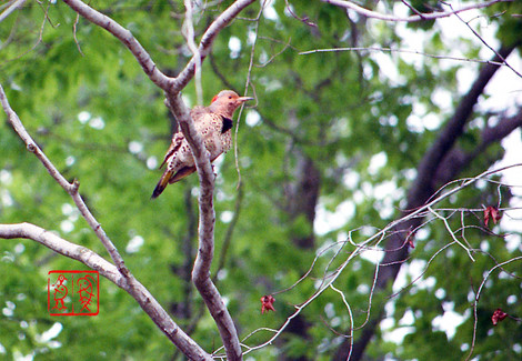 Northernflicker05