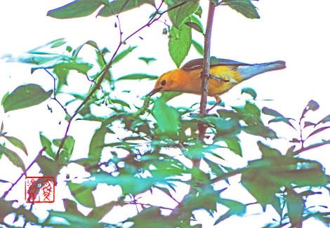 Prothonotarywarbler01