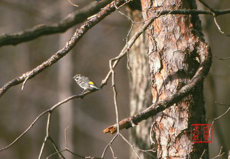 Yellowrumpedwarbler01