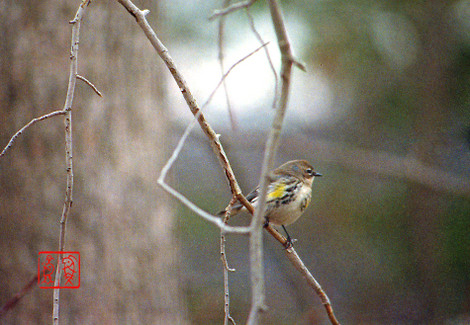 Yellowrumpedwarbler26