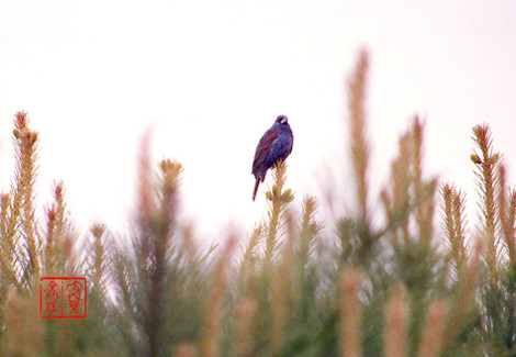 Bluegrosbeak52_2