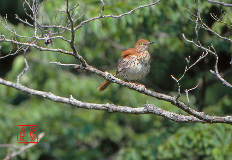 Brownthrasher07_2