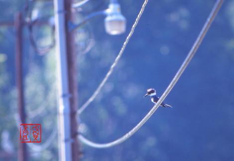 Beltedkingfisher25