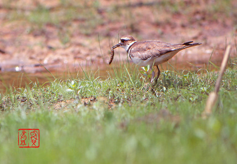 Killdeer23_2