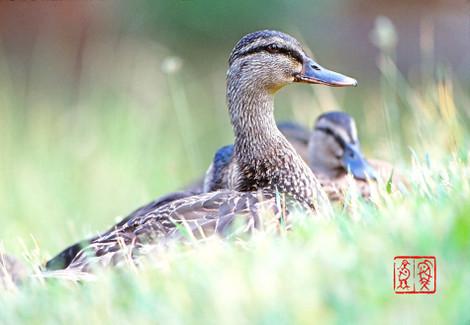 American_black_duck01