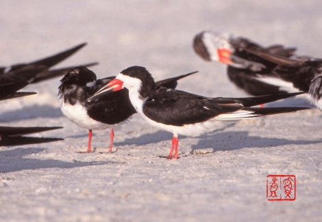 Blackskimmer135