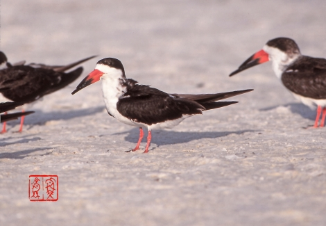 Blackskimmer27
