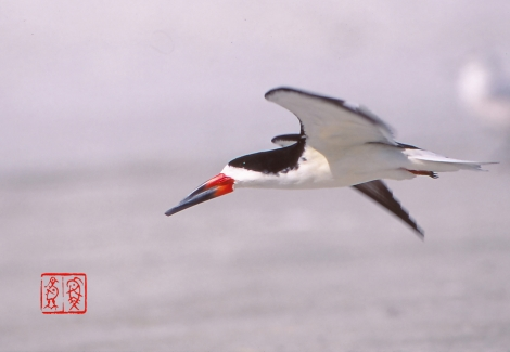 Blackskimmer92