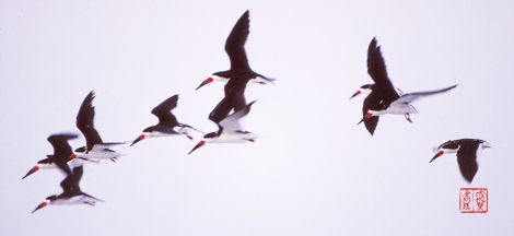 Blackskimmer93l