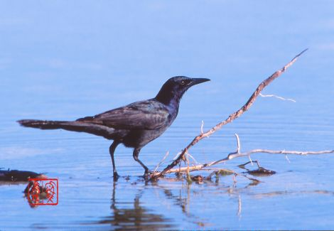 Boattalledgrackle01