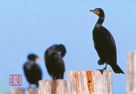 Doublecrestedcormorant20
