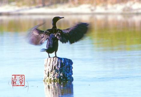 Doublecrestedcormorant21