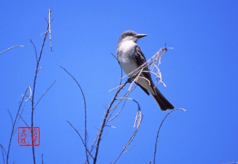Graykingbird18