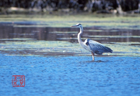 Greatblueheron01