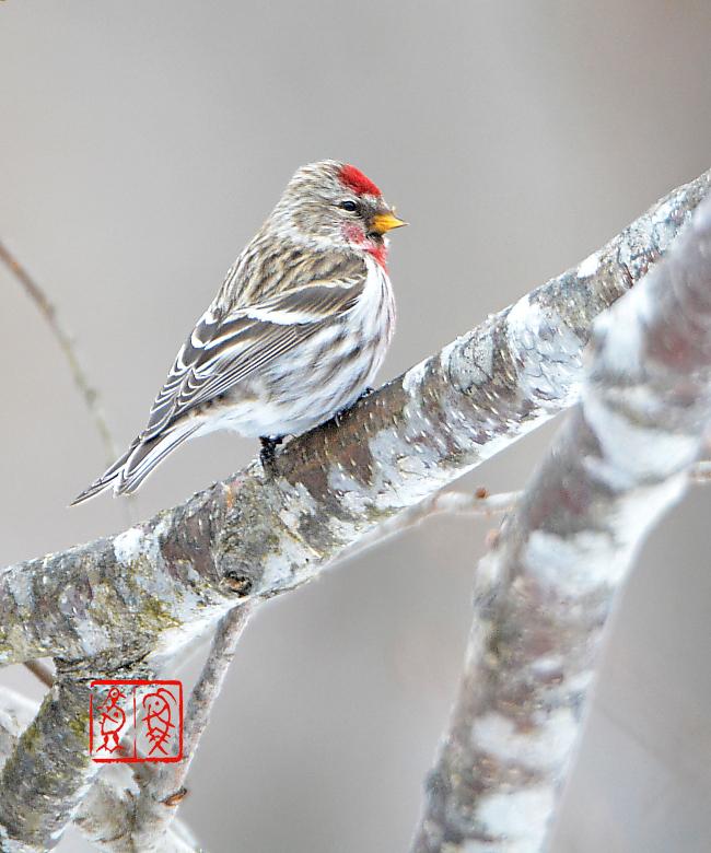 冬の道東の野鳥 (最終) ベニヒ...