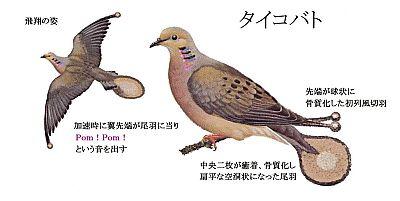 Taikobato