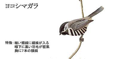 Yokoshimagara
