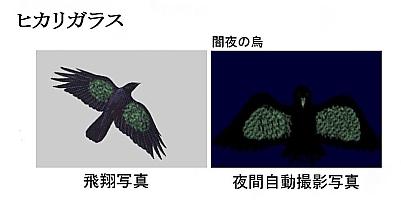 Hikarigarasu