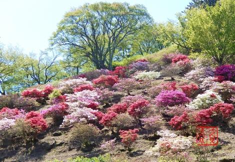 Yatakayamatsutsuji20200514n3966